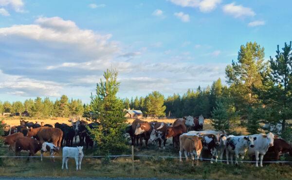 Kor och kalvar på fäbodvall, stängseltråd framför dem.
